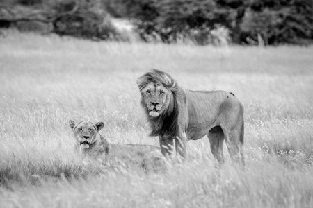 reproduce: Lion mating couple in the grass in black and white in the Central Kalahari, Botswana. Stock Photo