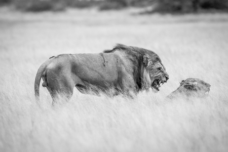 reproduce: Lion mating couple in the high grass in black and white in the Central Kalahari, Botswana.