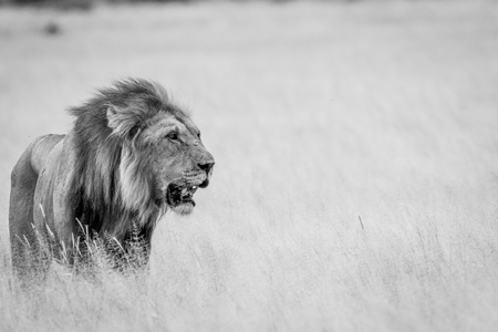 Big male Lion standing in the high grass in black and white in the Central Kalahari, Botswana.