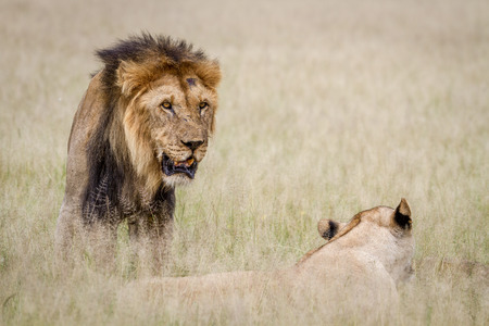 reproduce: Lion mating couple in the high grass in the Central Kalahari, Botswana.