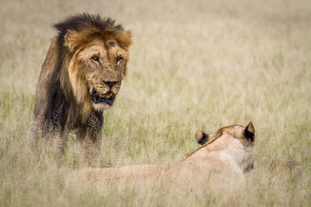 Lion mating couple in the high grass in the Central Kalahari, Botswana.