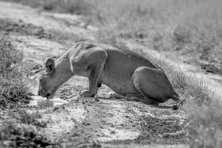 Lion drinking from a pool in the road in black and white in the Central Kalahari, Botswana.