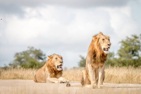 Two Lions sitting on the road in the Sabi Sand Game Reserve, South Africa. Stock Photo