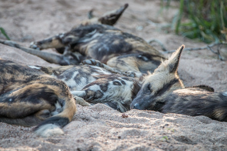 A pack of African wild dogs resting in the sand in the Sabi Sand Game Reserve, South Africa.