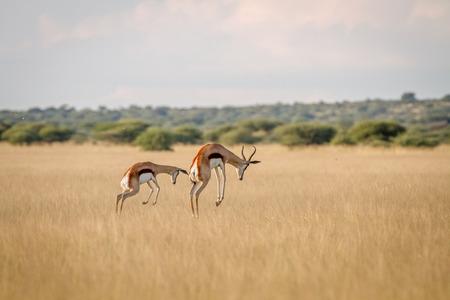Dos Springboks pronking en la hierba en el Kalahari central, Botswana. Foto de archivo - 85091993