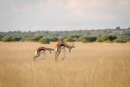 Two Springboks pronking in the grass in the Central Kalahari, Botswana. Banco de Imagens