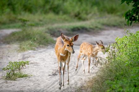 Mother Nyala and baby walking on the road in the Okavango Delta, Botswana.