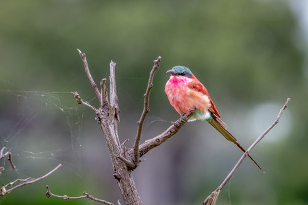 Southern carmine bee-eater sitting on a branch in the Okavango Delta, Botswana.