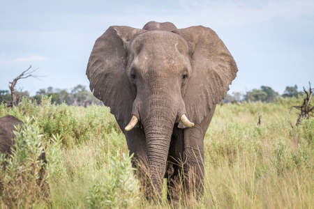 pachyderm: Elephant starring at the camera in the Chobe National Park, Botswana. Stock Photo