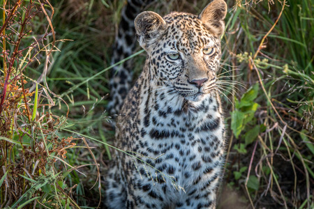 game drive: A young female Leopard starring at the camera in the Sabi Sand Game Reserve, South Africa. Stock Photo