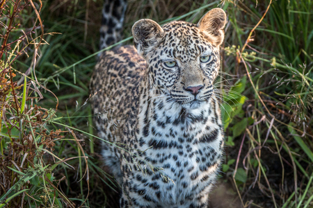 A young female Leopard starring at the camera in the Sabi Sand Game Reserve, South Africa. Stock Photo