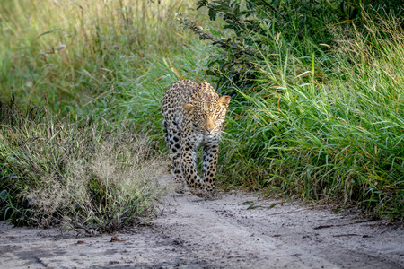 Leopard walking towards the camera in the Central Kalahari, Botswana. Stock Photo