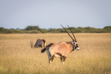 Gemsbok standing in the grass in the Central Kalahari, Botswana.