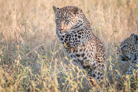 A Leopard jumping in the grass in the Sabi Sand Game Reserve, South Africa. Stock Photo
