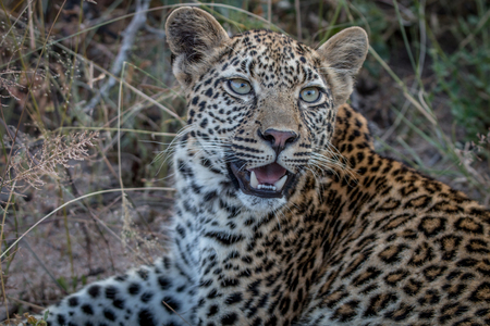 Close up of a female Leopard in the Sabi Sand Game Reserve, South Africa.