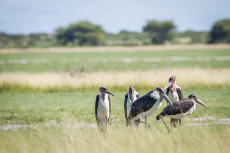 Group of Marabou storks in the high grass in the Central Kalahari, Botswana.