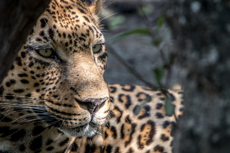 Close up of a male Leopard in the Sabi Sand Game Reserve, South Africa.