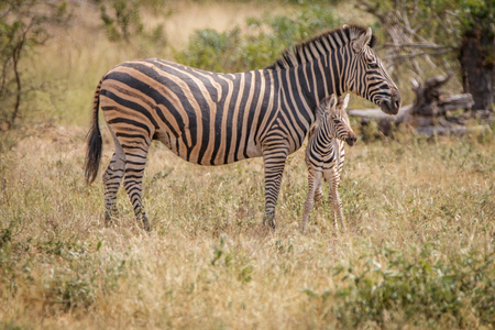 A baby Zebra bonding with the mother in the Sabi Sand Game Reserve, South Africa.