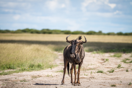 Blue wildebeest standing in sand in the Central Kalahari, Botswana.
