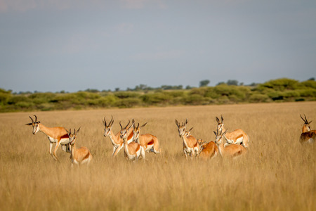 Herd of Springbok running in the grass in the Central Kalahari, Botswana.