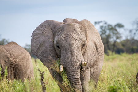 pachyderm: Elephant eating in the grass in the Chobe National Park, Botswana. Stock Photo