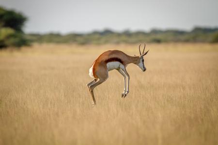 Springbok pronking in the grass in the Central Kalahari, Botswana.