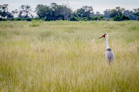 Wattled crane standing in the grass in the Okavango Delta, Botswana.