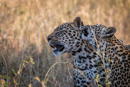 Two Leopards bonding in the grass in the Sabi Sand Game Reserve, South Africa.