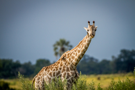 Giraffe standing in the grass starring at the camera in the Okavango Delta, Botswana.