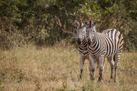 Two Zebras bonding in the grass in the Sabi Sand Game Reserve, South Africa. Stock Photo