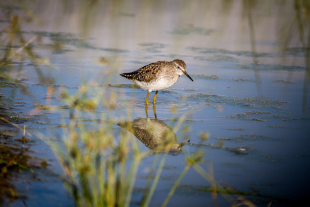 Wood sandpiper walking in the water in the Chobe National Park, Botswana.