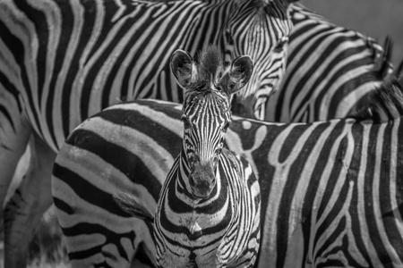 Zebra starring at the camera in black and white in the Chobe National Park, Botswana. Imagens
