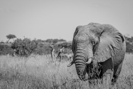 Elephant standing in high grass in black and white in the Chobe National Park, Botswana.