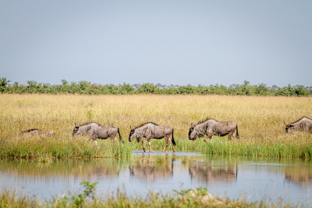 taurinus: Blue-wildebeests walking next to the water in the Chobe National Park, Botswana.