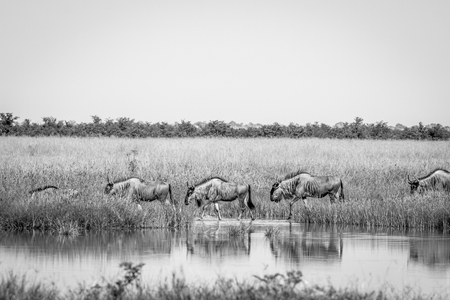Blue-wildebeests walking next to the water in black and white in the Chobe National Park, Botswana.