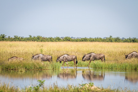 Blue-wildebeests walking next to the water in the Chobe National Park, Botswana.