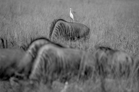 taurinus: Blue wildebeests standing in the grass with a Cattle egret in black and white in the Chobe National Park, Botswana.