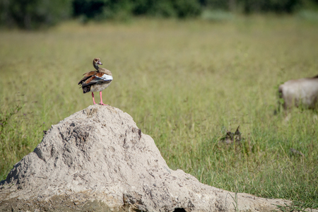 Egyptian goose standing on a termite mount in the Chobe National Park, Botswana.
