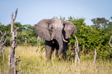 Elephant standing in the grass in the Chobe National Park, Botswana.