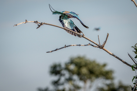 Lilac-breasted roller flying away in the Chobe National Park, Botswana. Stock Photo