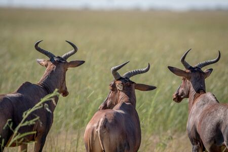 Three red hartebeests looking away from the camera in the Chobe National Park, Botswana.