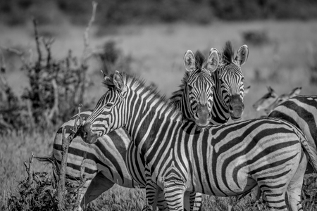 Two Zebras starring at the camera in black and white in the Chobe National Park, Botswana. Stock Photo