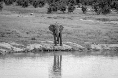 pozo de agua: Elephant bull at a waterhole in black and white in the Hwange National Park, Zimbawbe.