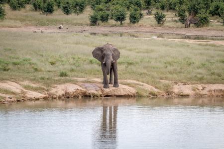 Elephant bull at a waterhole in the Hwange National Park, Zimbawbe. Stock Photo