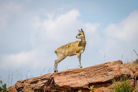 Klipspringer standing on rocks in the Marakele National Park, South Africa.
