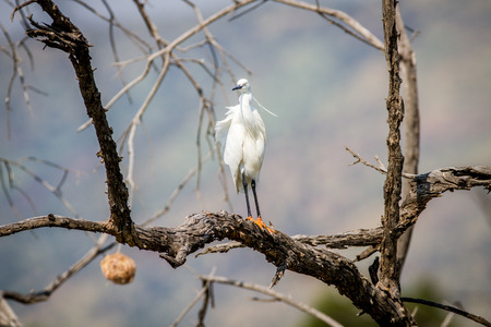 Little egret standing on a branch in the Pilanesberg National Park, South Africa.