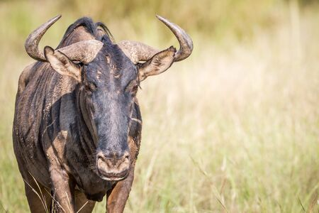 Blue wildebeest starring at the camera in the Pilanesberg National Park, South Africa.