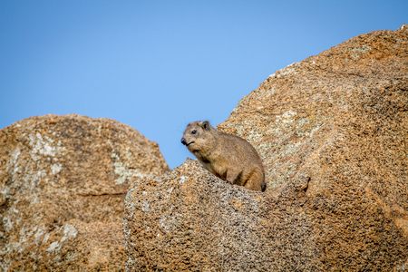Rock hyrax sitting on a rock in the Pilanesberg National Park, South Africa. Stock Photo