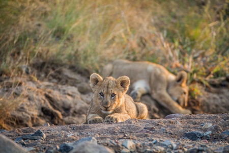 Two Lion cubs laying in a dry riverbed in the Pilanesberg National Park, South Africa.