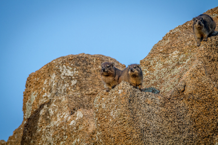 zimbabwe: Rock hyrax sitting on rocks in the Pilanesberg National Park, South Africa. Foto de archivo